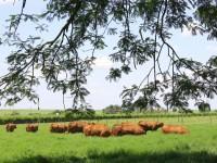 34-senepol-fazendaBelaVista