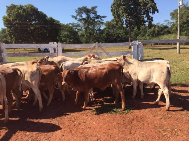 O vizinho que virou cliente de touros da Bela Vista Senepol