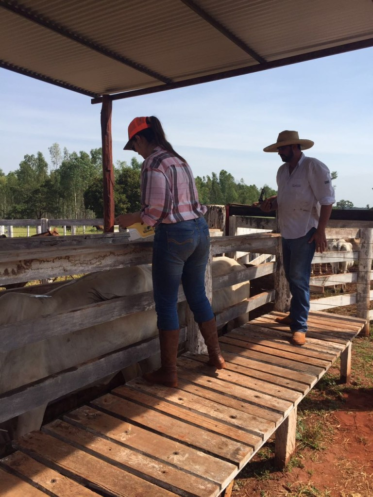 Os irmãos Cecília e Celso Anatriello conferem a vacada prenhe no curral da fazenda